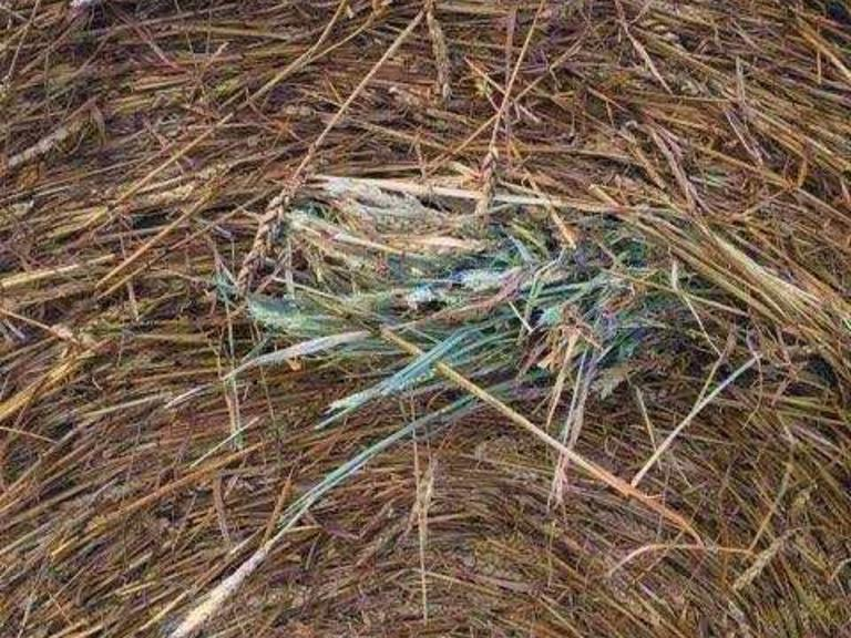 Beardless Wheat Hay! - BETTER THAN STRAW! - BIDDING IS $/TON - Online Auction