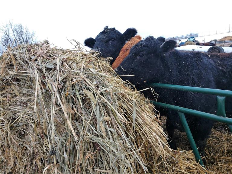 Cover Crop Haylage - Net Wrapped & Plastic Wrapped - 20 Bales - BIDDING IS $/BALE - Online Auction